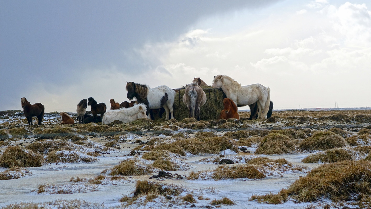 Cercle d'or hiver chevaux