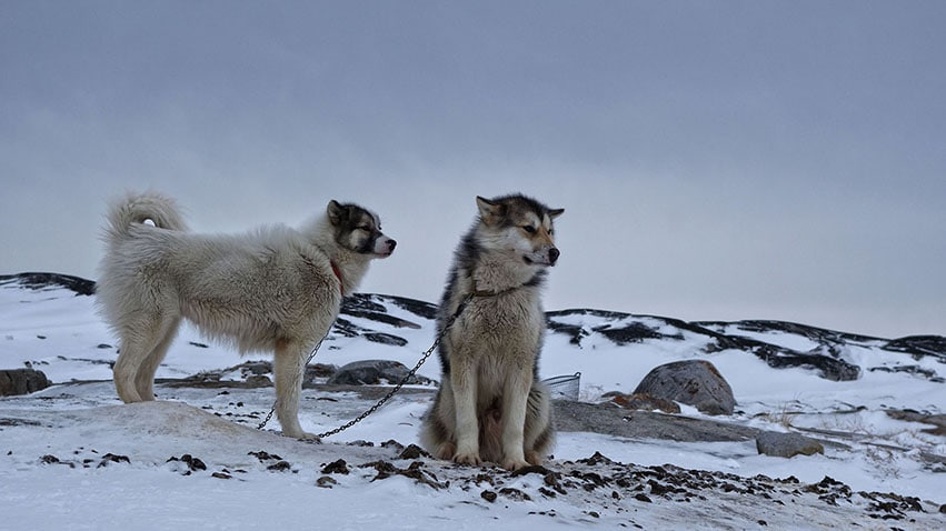Groenland en hiver rodebay chiens neige