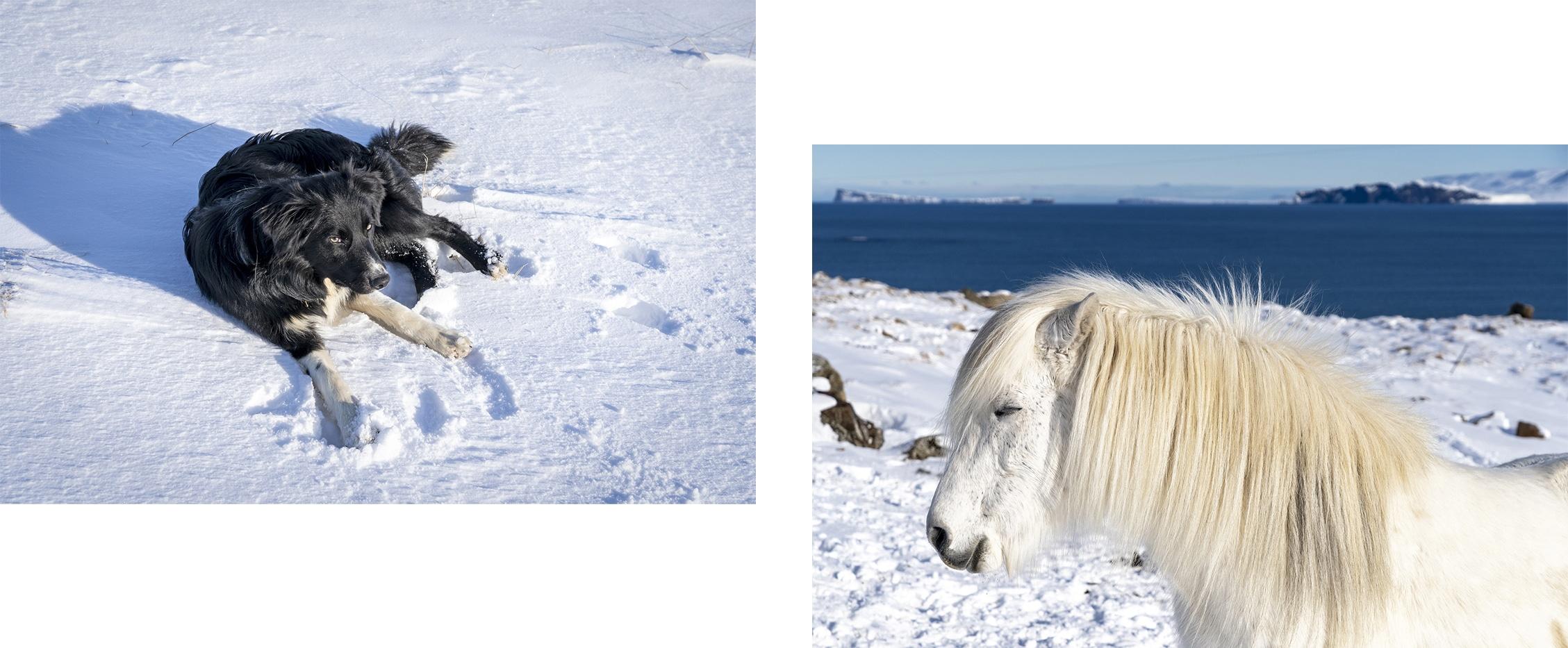 Tindastóll Islande cheval chien