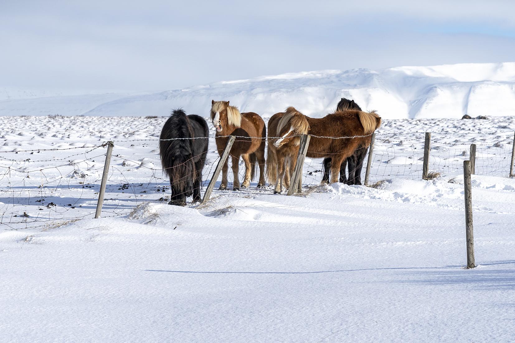 Skagafjördur chevaux neige montagnes Islande du Nord