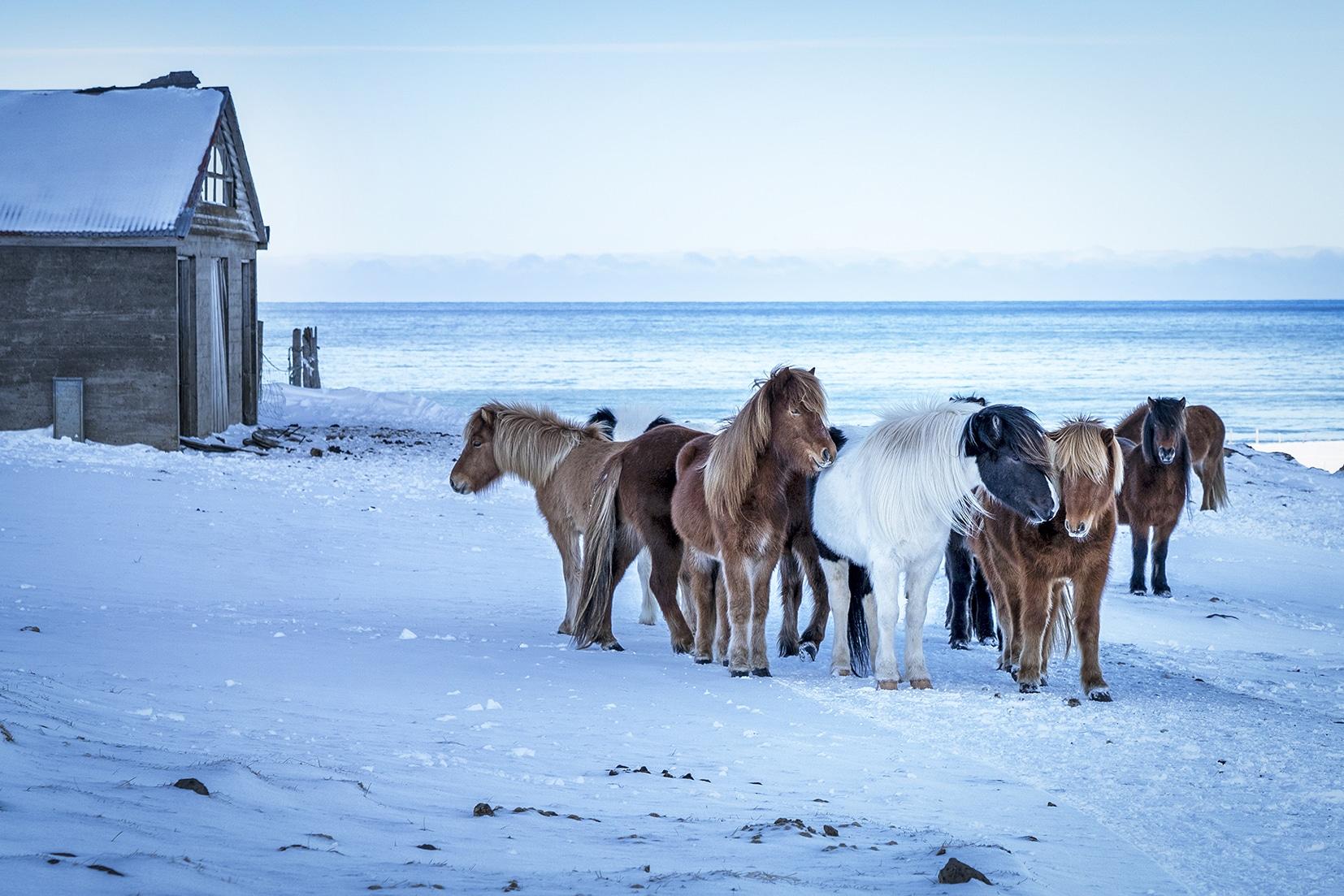 Tindastóll chevaux neige mer Islande du Nord