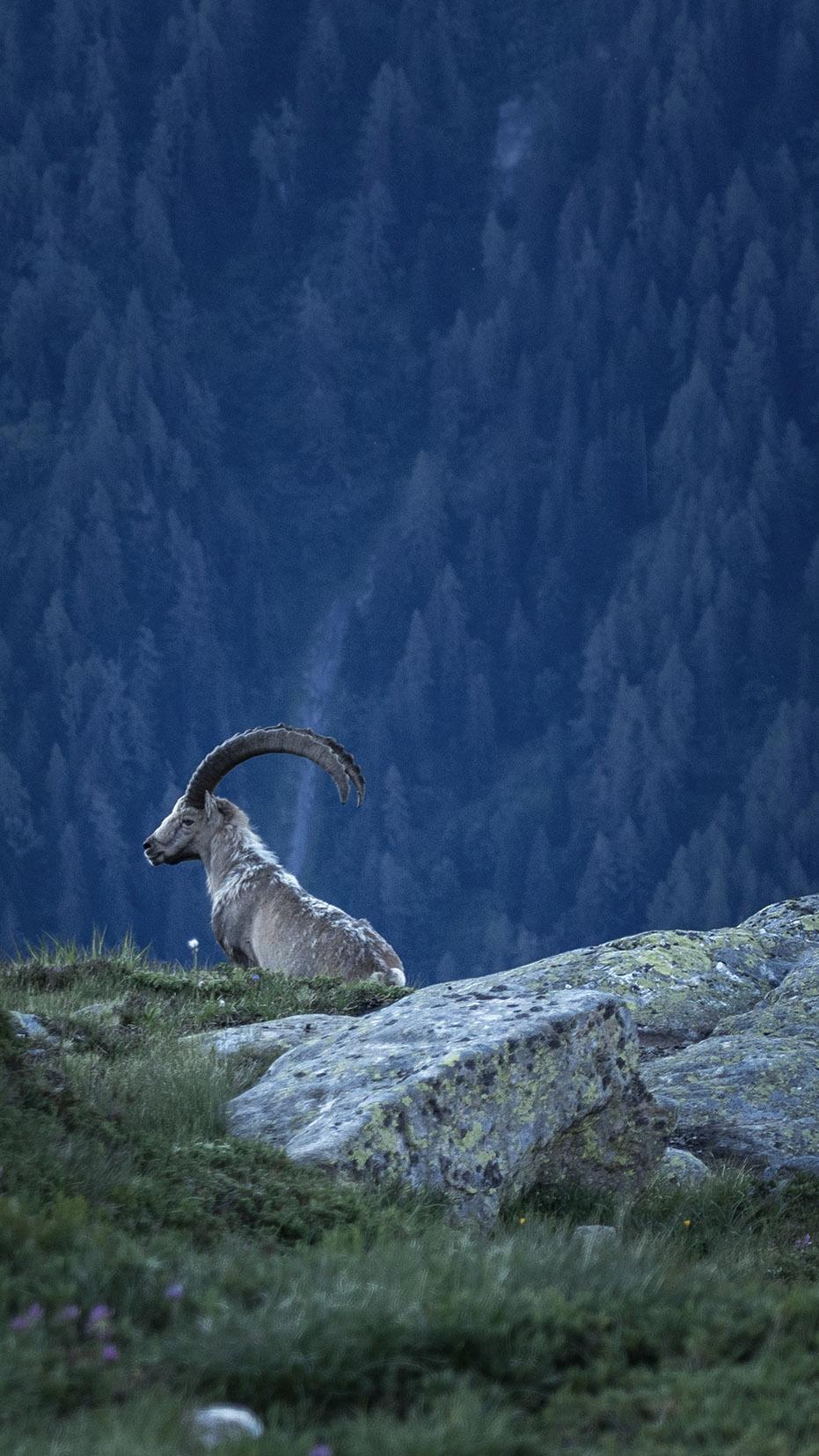 Bouquetin lac de Cheserys Chamonix assis montagnes