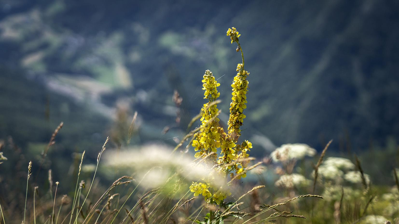 Haute-Savoie détail jacinthe