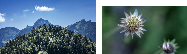 Pointe de Tréchauffé détail fleur montagne