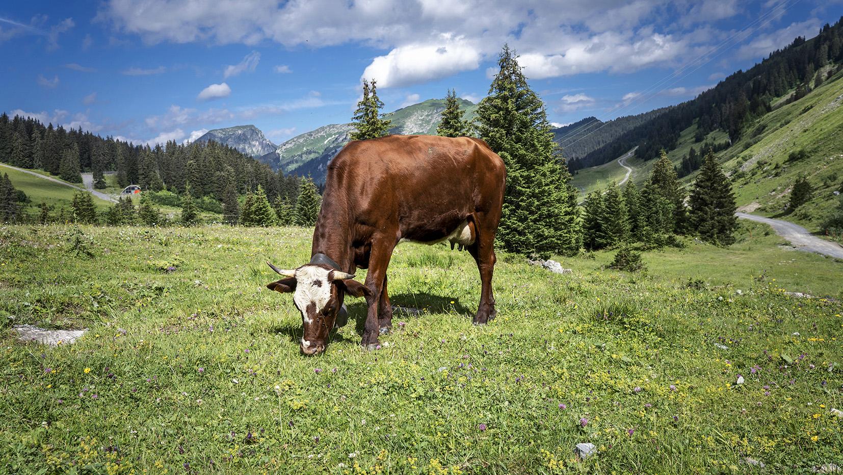 Lindarets Haute-Savoie vache chemin