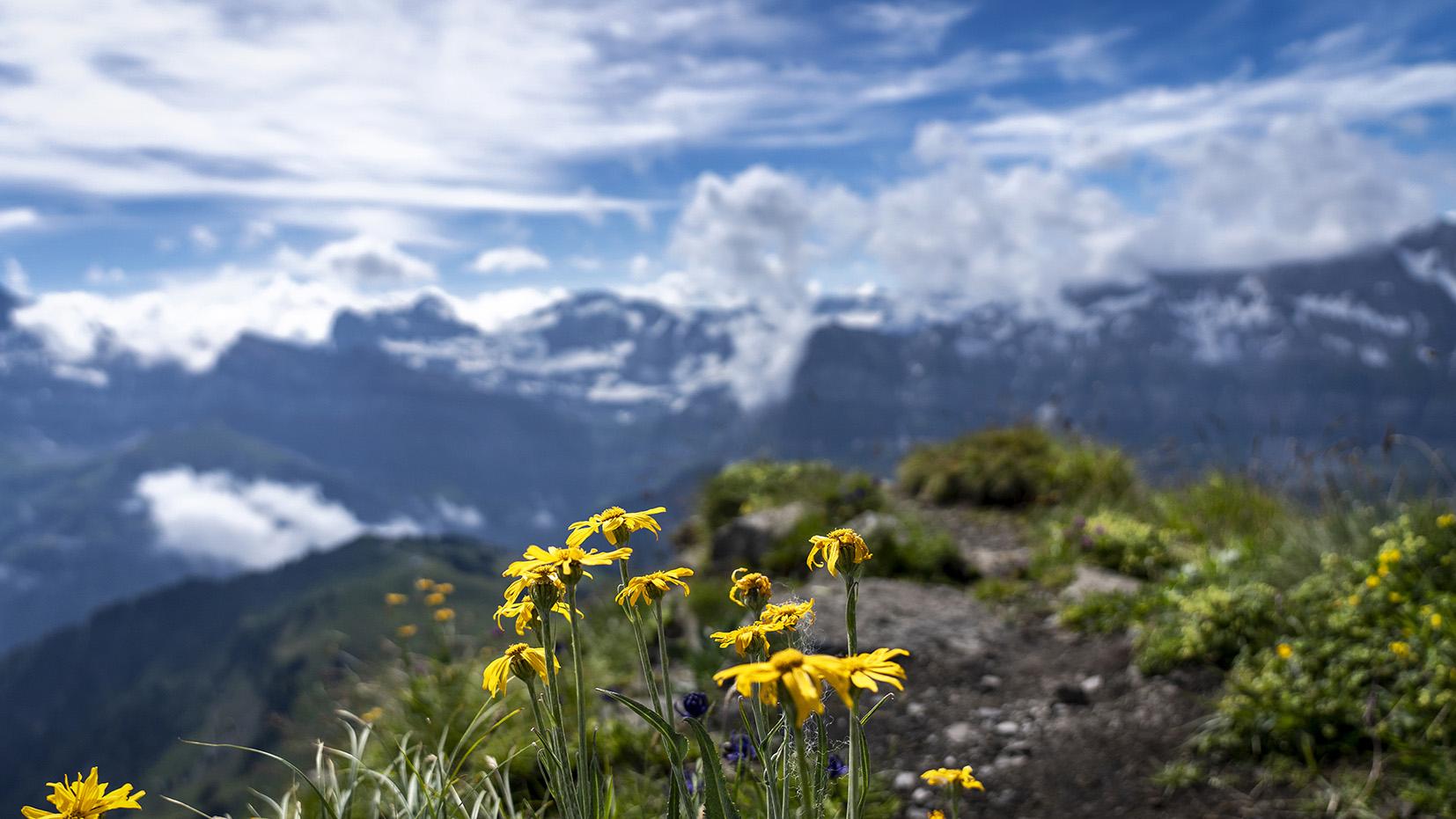 pointe des Mossettes fleurs jaunes montagnes neige dents du midi dents blanches ciel bleu