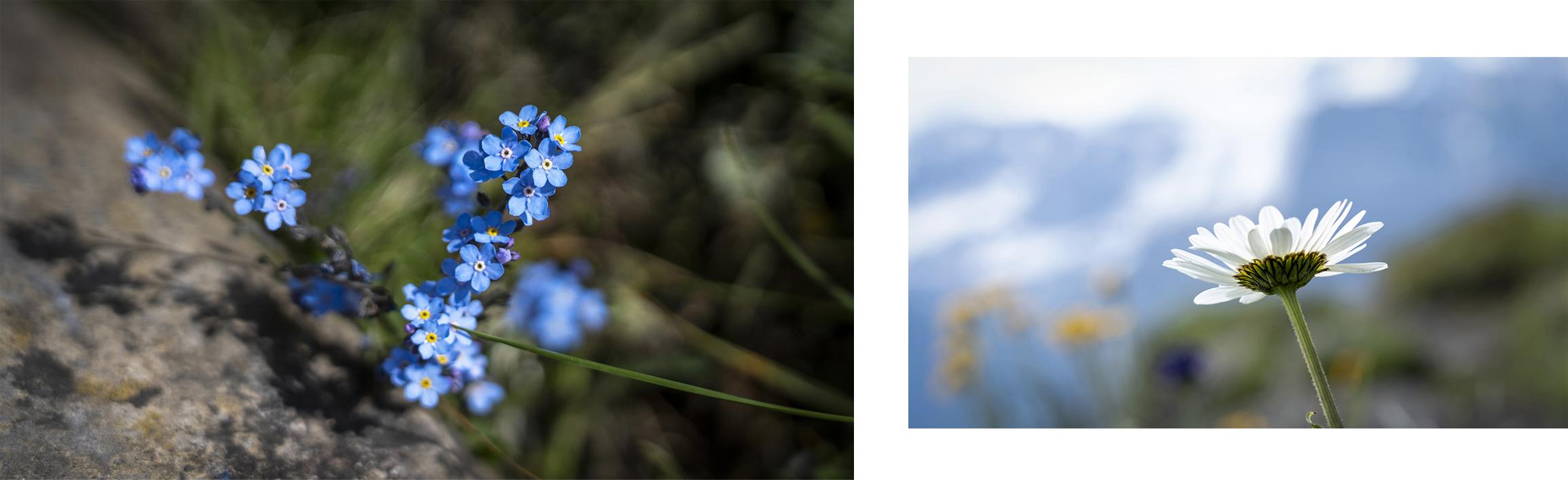 Pointe des Mossettes détail fleurs
